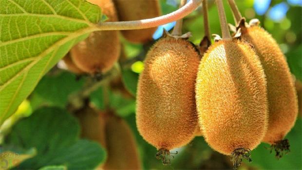 На ветке фруктового дерева гроздь спелых сочных киви