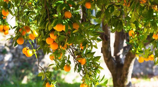 На солнечной улице растет апельсиновое дерево со множеством спелых плодов
