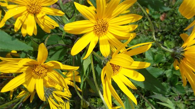 Поле с желтыми цветками распустившегося топинамбура