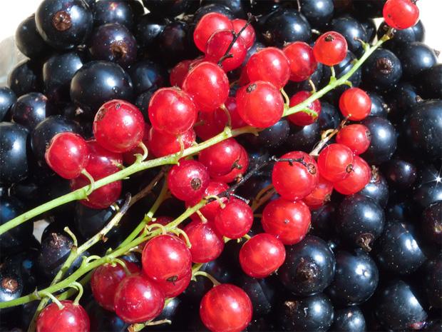 Собранная свежая черная и красная смородина в гроздьях