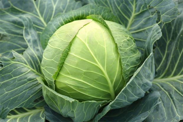 Большой созревший кочан белокочанной капусты с листами на грядке