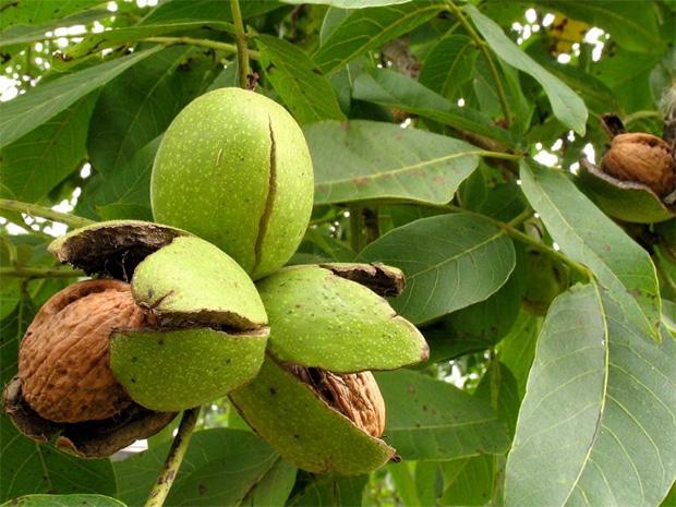 На большом дереве грецкого ореха висят созревшие треснувшие плоды