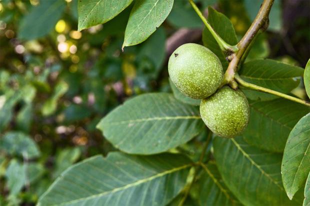 Воздействие листьев грецкого ореха при сахарном диабете на организм